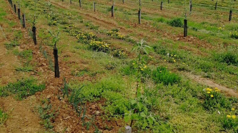 Ova opština obezbedila je preko MILION sadnica voća za svoje voćare