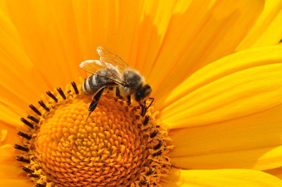 Ilustracija: pčela, foto: pixabay.com: autor: Katja
