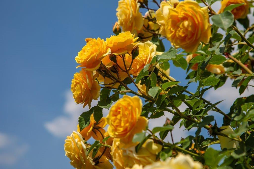 Ilustracija: ruže u vrtu, foto: Svetlana Kovačević