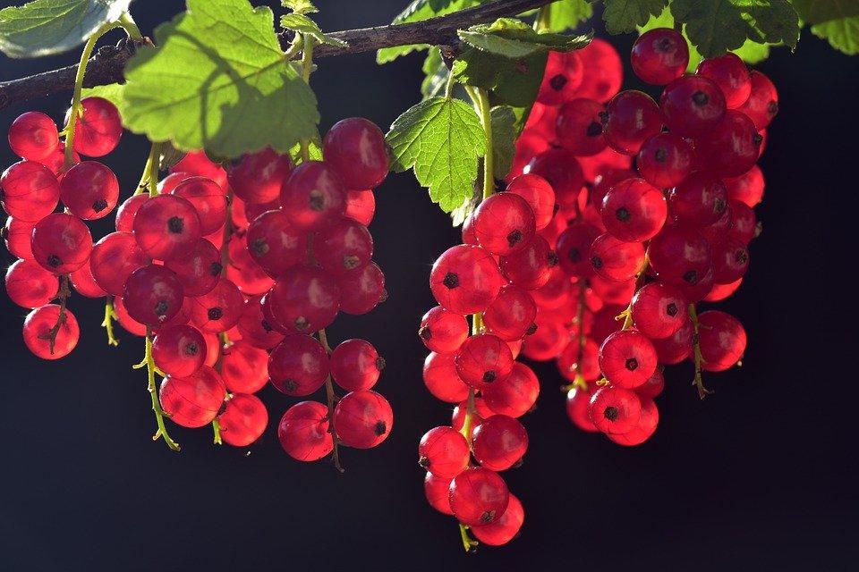 Ilustracija: ribizla, foto: pixabay.com, autor:U. Leone
