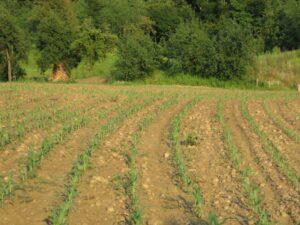 Ilustracija: nijva kukuruza, foto: Svetlana Kovačević, Domaćinska kuća