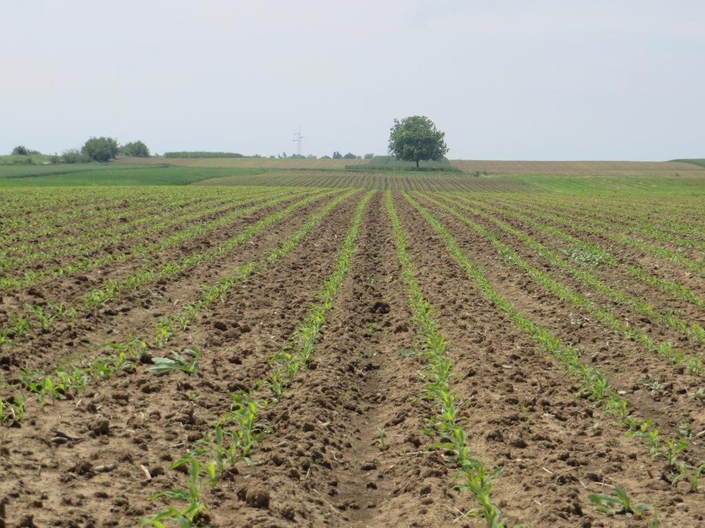 Ilustracija: kukuruz, foto: Svetlana Kovačević, Domaćinska kuča