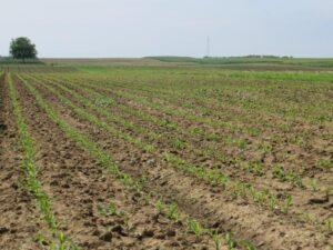 Ilustracija: njiva kukuruza, foto: Svetlana Kovačević, Domaćinska kuća