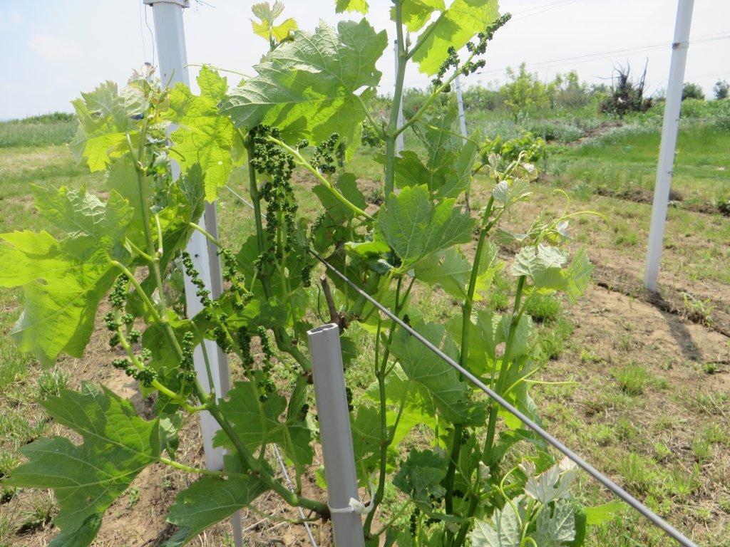Ilustracija:mladi vinograd, foto: Svetlana Kovačević, Domaćinska kuća