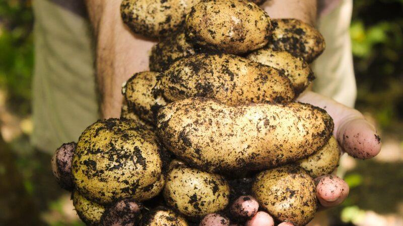 Ima li smisla da proizvodnja krompira opada a uvoz raste