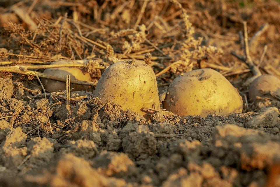 Ilustracija: krompir, foto: pixabay, autor: iilona