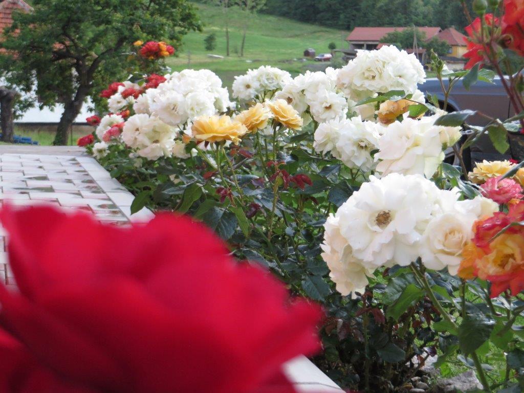 Ilustracija: ruže u dvorištu, foto: Svetlana Kovačević, Domaćinska kuća