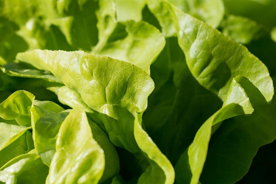 Ilustracija: zelena salata, foto: pixabay.com. autor: Petra