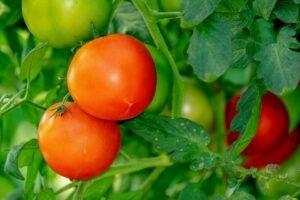 Ilustracija: paradajz, foto: pixabay, autor: iilona
