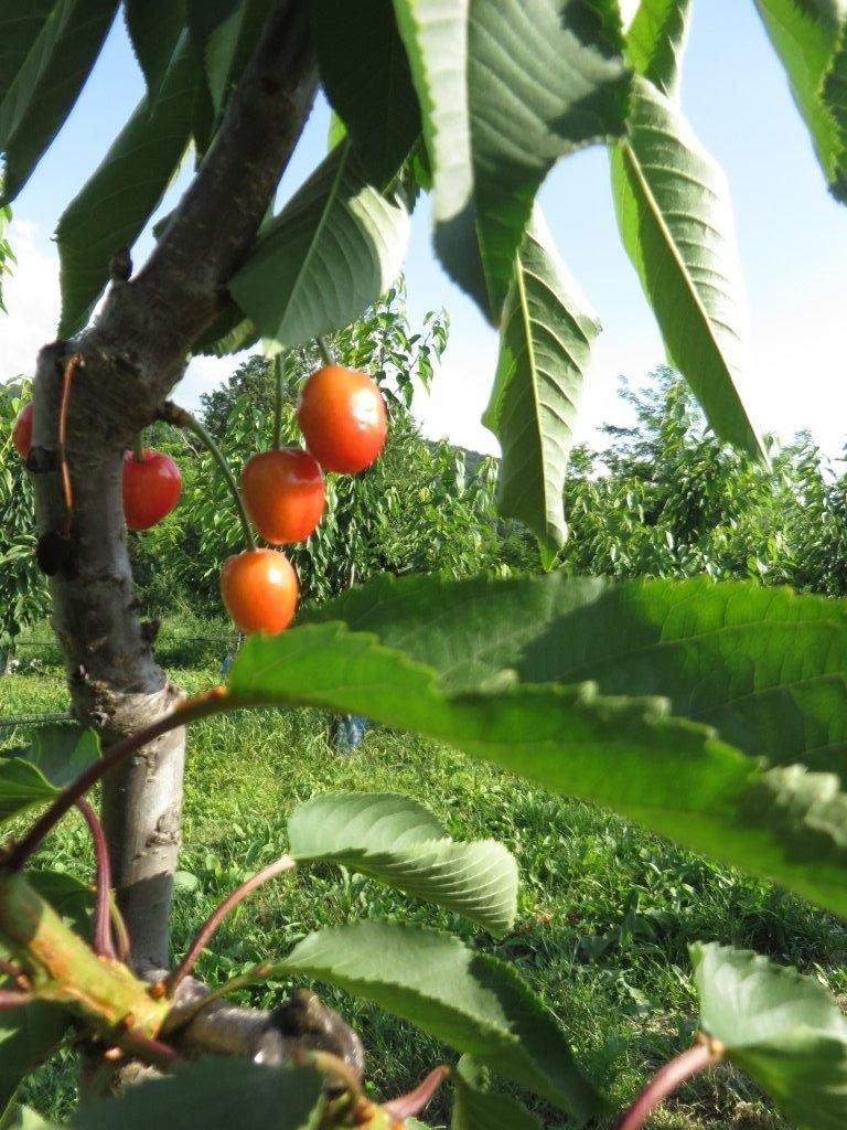 Ičustracija: trešnje, foto. Svetlana Kovačević, foto: Domaćinska kuća