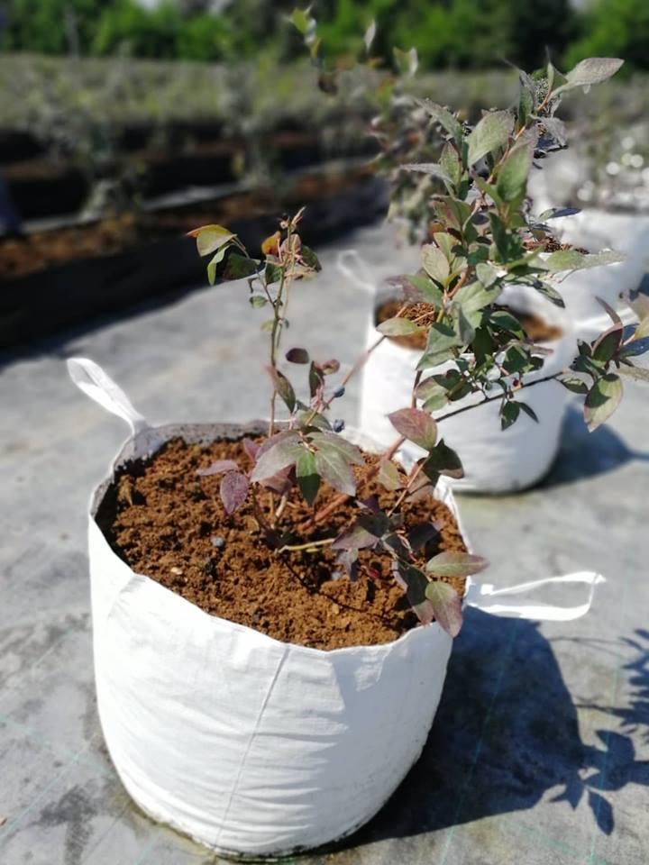 Ilustracija: sadnice borovnice, foto: Svetlana Kovačević, Domaćinska kuća