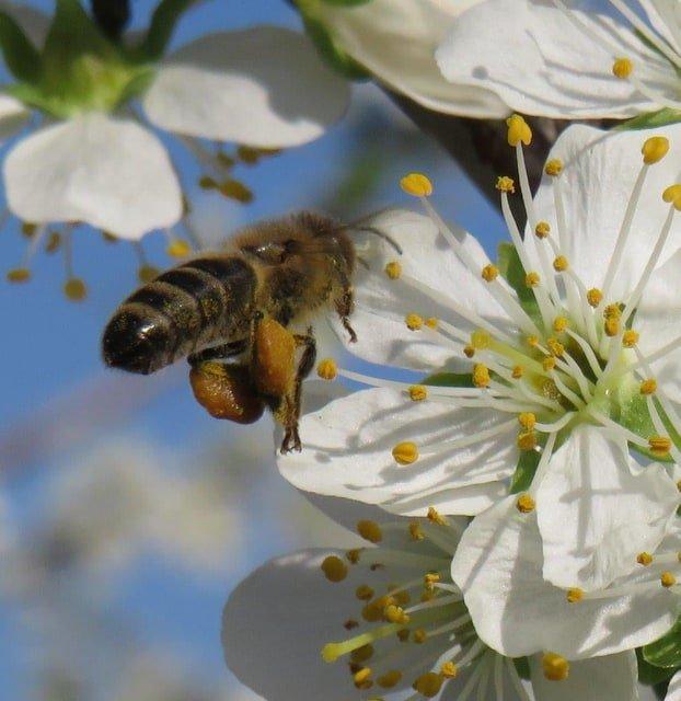Ilustracija: pčela na cvetu, foto: Goran Đaković