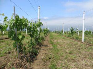 Ilustracija: mladi vinograd, foto: Svetlana Kovačević, Domaćinska kuća