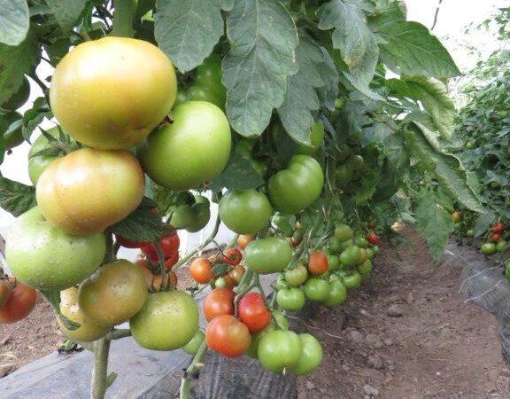 Kada je najbolje rasađivati paradajz