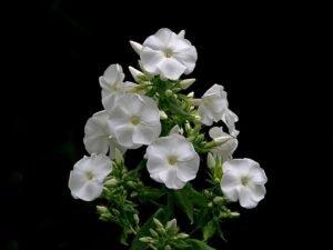 Ilustracija: noćno cveće, foto: pixabax.com, autor:Andrew Martin