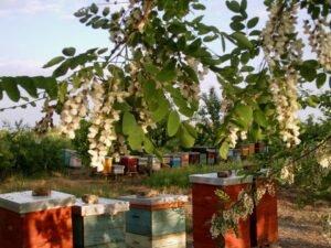 Ilustracija: Pčelinjak Tatjane Mrdak iz Sivca, foto: Tatjana Mrdak