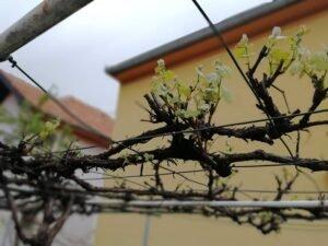 Ilustracija: vinova loza, foto: Svetlana Kovačević, Domaćinska kuća