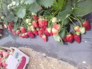 Ilustracija: jagode za berbu, foto: Svetlana Kovačević, Domaćinska kuća