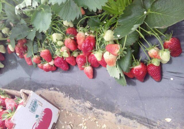 Kakve prinose dobijamo prilikom letnje sadnje jagode
