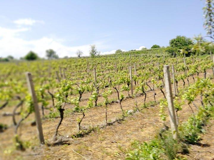 Ilustracija: vinograd, foto: Svetlana Kovačević