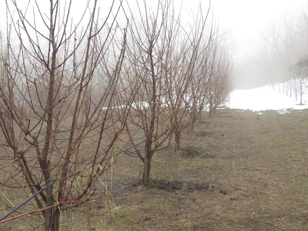 Daragomir Tulović zasad kruska zima santa marija i karmen bazen grane Gornji MIlanovac Grabovica (46) (1)