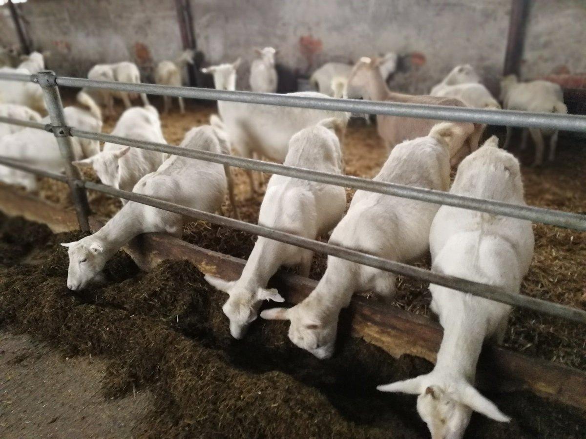 Ilustracija: farma koza, foto: Svetlana Kovačevič, Domačinska kuća