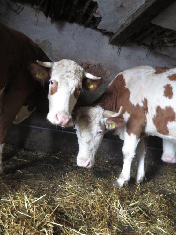 Ilustracija: farma krava, foto: Goran Đaković