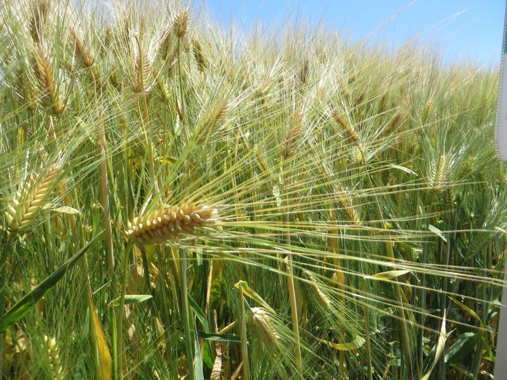 Ilustracija: pšenica, foto: Svetlana Kovačević, Domaćinska kuća
