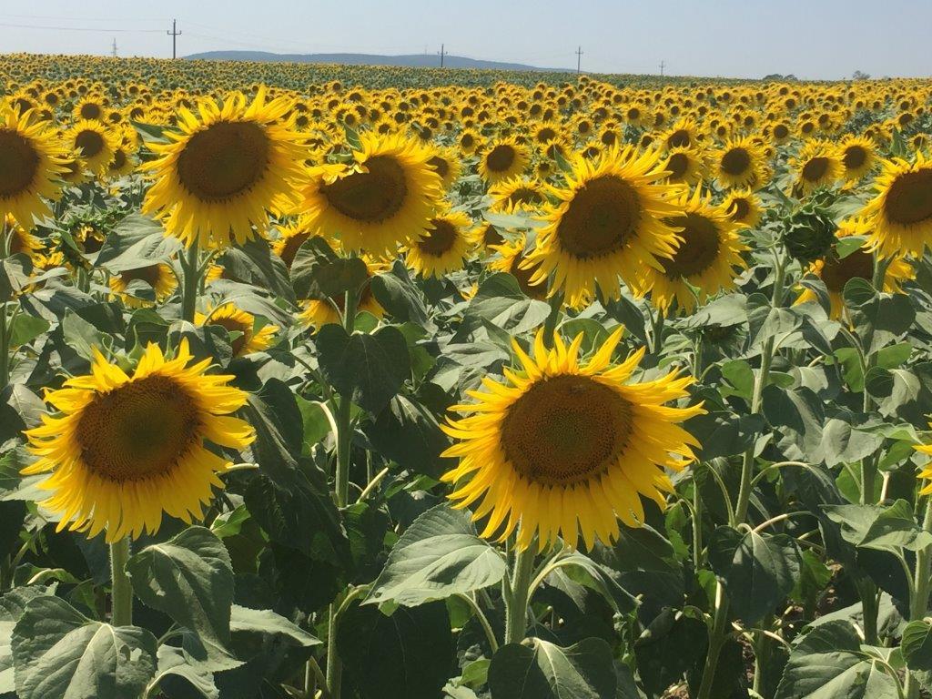 Ilustracija: suncokret, foto: Svetlana Kovačevič, Domaćinska kuća