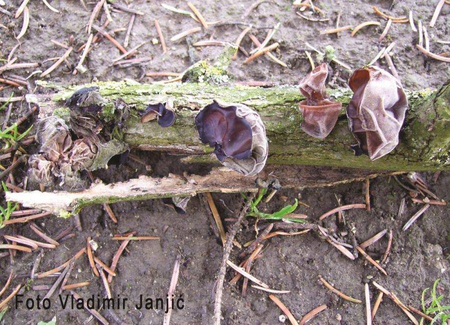 Ilustracija: gljiva judino foto: Vladimir Janjić