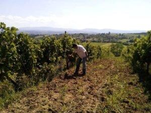 Ilustracija: vinograd, foto: Dejan Davidović