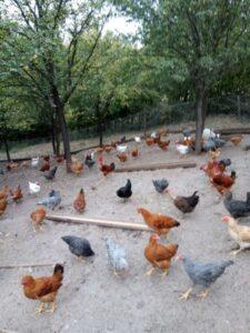 Ilustracija: kokoške, autor: Domaćinska kuća