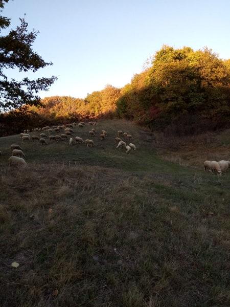 Ilustracija: ovce na paši, foto: Domaćinska kuća
