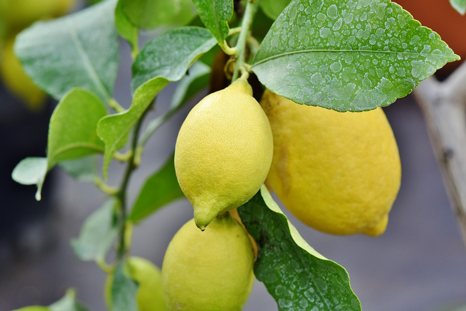 Ilustracija: limun, foto: pixabay, autor: Ralph