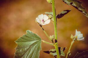 Ilustracija: beli slez, foto: Pixabay