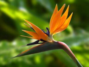 Ilustracija: rajska ptica, foto: pixabay