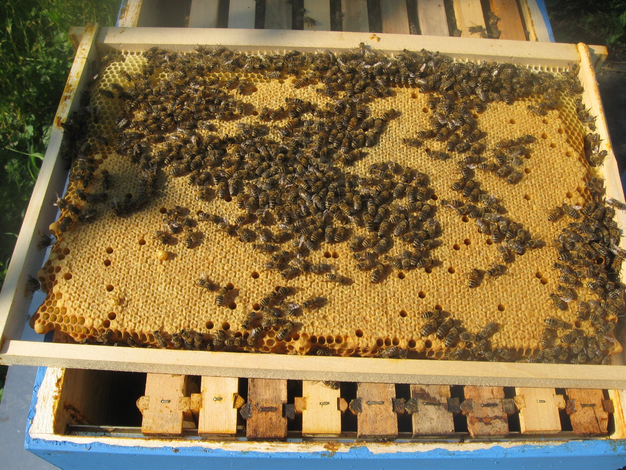 Ilustracija: pčelinajk, foto: Slobodan Jevtić