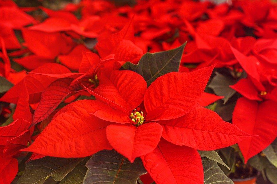 Ilustracija: božićna zvezda, foto: pixabay