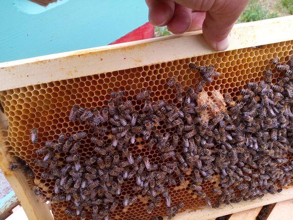 Ilustracija: Pčele, foto: Saša Stojanov