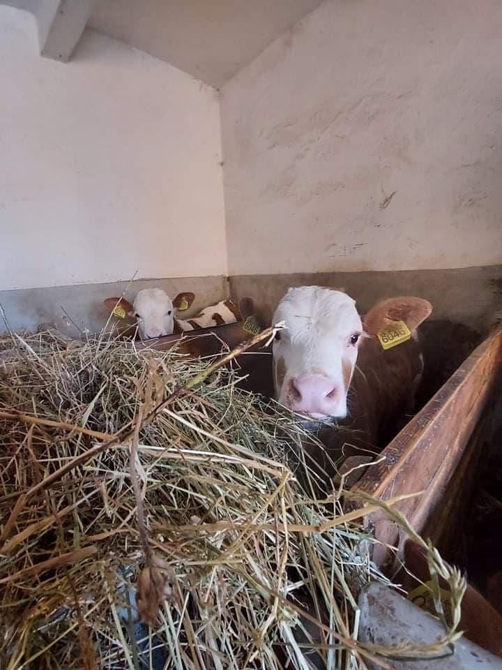 Ilustracija: farma krava u Valjevu, foto: Domaćinska kuća