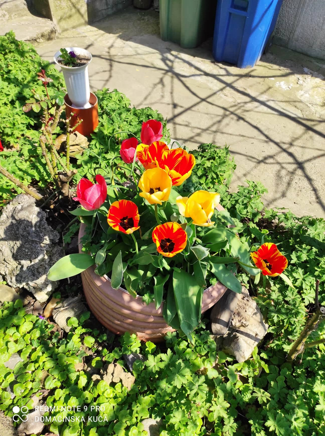 Ilustracija: lale u proleće, foto: Svetlana Kovačević