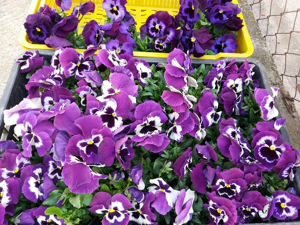 Ilustracija: Proizvodnja cveća kod Emine Stefanović, foto: Svetlana Kovačević