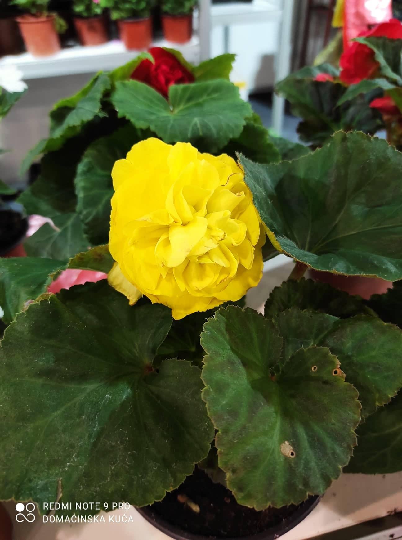 Ilustracija: cvet u mojoj bašti, foto: Svetlana Kovačević