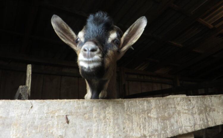 Ilustracija: koze, foto. Domaćinska kuća