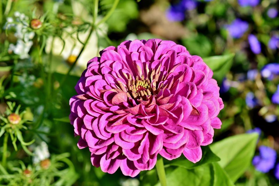 Ilustracija: cvet cinija, foto: pixabay, autor: Capri23auto
