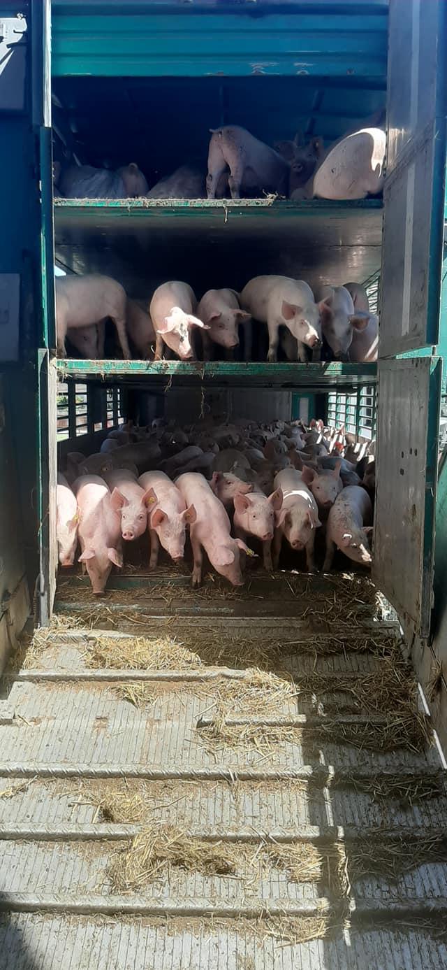 Ilustracija: farma svinja Miloša Teodorovića, foto: Svetlana Kovačević