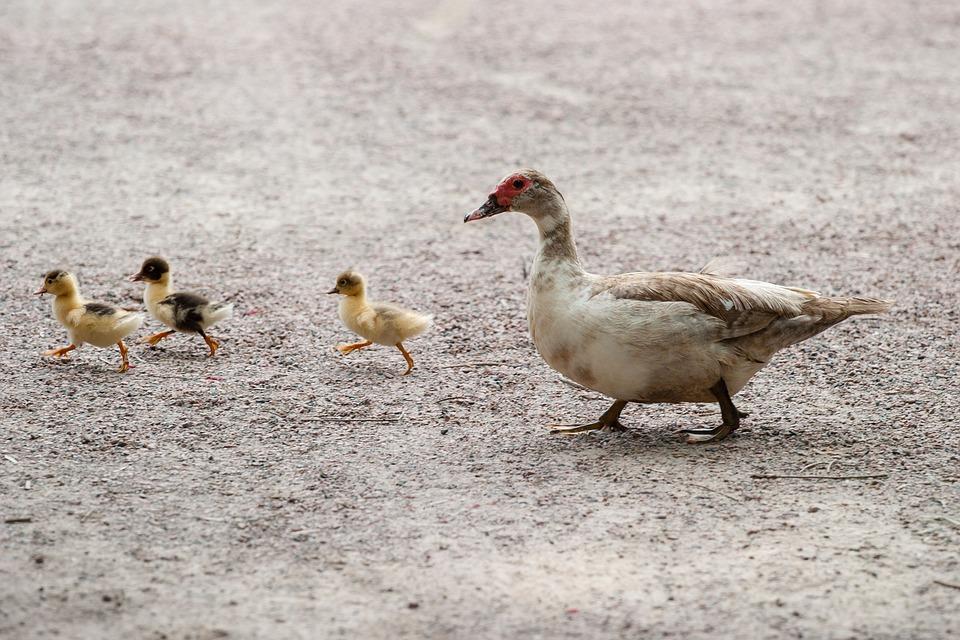 Ilustracija: patke i pačici, foto: pixabay