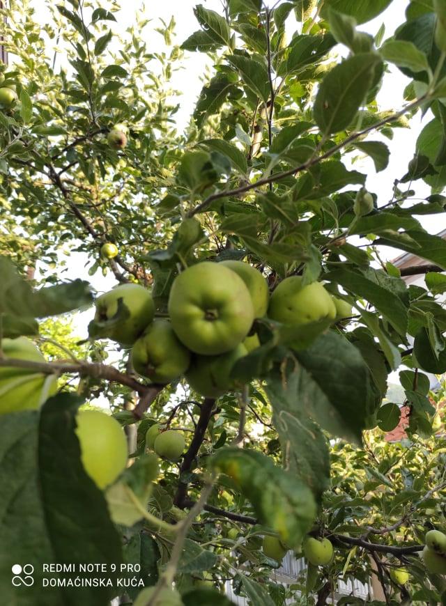 Ilustracija: jabuke, foto: Svetlana Kovačević