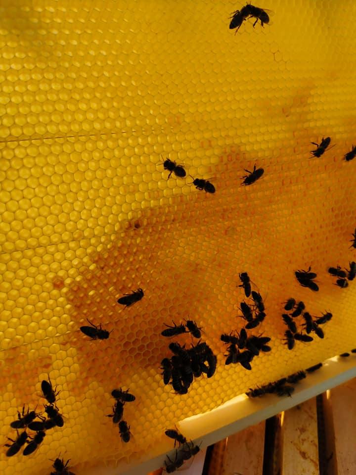 Ilustracija: pčele, foto: Slobodan Jevtić