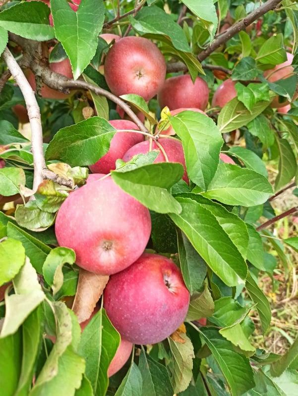 Ilustracija; jabuke, foto: Svetlana Kovačević